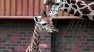 Baby giraffe stretches his legs at UK zoo
