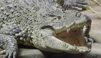 Clever croc 'target trained' at Bronx Zoo in Animal Planet show