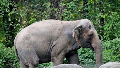 NY's top court ruled it will hear a case about freeing 'imprisoned' Happy the elephant from the Bronx Zoo, marking a first for a nonhuman animal