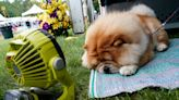 25 hilarious photos of dogs taken at the perfect time at the Westminster Dog Show