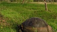Ancient Galapagos tortoises clash in a turf war over grazing rights