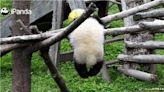 全程直播7小時…熊貓寶寶繩子繞頸亡