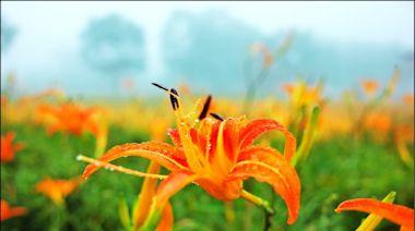 花蓮赤科山、六十石山金針花 8月中盛開