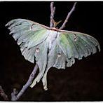 Moth by Flickr user TANKSEGUNDO
