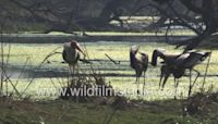 Parenting in Painted Storks - Survival training day with Mrs. Stork