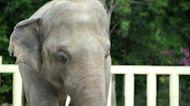 Pakistan's lonely elephant settles into sanctuary life