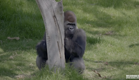 Canadian singer delights his gorilla superfans with Christmas songs