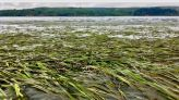 Seagrass restoration study shows rapid recovery of ecosystem functions