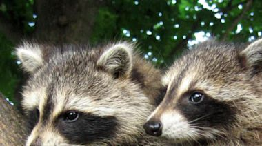Are we making raccoons smarter?