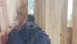 Caw-tastrophe: Louisiana Man Helps Free Crow Trapped in Fence