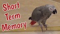 "Einstein the talking parrot has ""short term memory"""