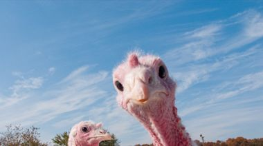 23 Mind-Blowing Facts About Turkeys You Definitely Didn't Know