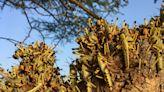 Growing Swarms of Locust Converging on Kenya Threaten Crops