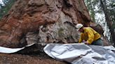 Watch General Sherman giant sequoia unwrapped after wildfire danger passes