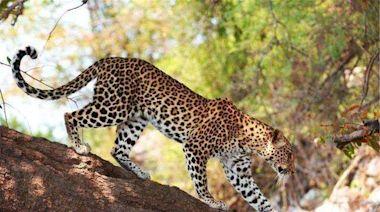 我國竟然有5種豹,優雅矯健身姿,美麗可愛至極