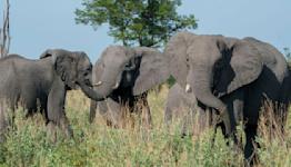 "Study: Ivory trade accelerated ""evolution"" of tuskless elephants"