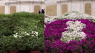 Rome's Spanish Steps go from green to full bloom