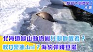 北海道旭山動物園只剩他醒著? 軟Q果凍4ni?海豹彈跳登場
