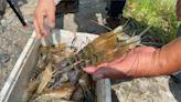 屏東泰國蝦大滯銷 澎湖海鮮生意差影響漁民