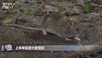 上半年鼠患大致受控