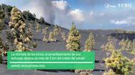 Cumbre Vieja Volcanic Explosion Yellows Pine Needles in La Palma