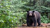 Woman walking her dogs killed in bear attack