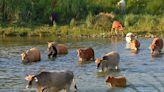 貓羅溪牛群放養 須合法申請