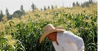 Genetically Modified Crops Are Safe, Report Says - NBC News