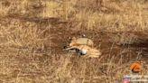 獵豹撕咬羚羊 見「這鳥群」嚇歪落跑