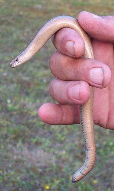 Slow-worm - Anguis fragilis