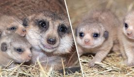Meerkat Pups Born at Zoo Miami for the First Time in History