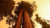 Wildfires Burning in California's Giant Sequoia Groves Threaten Hundreds of Ancient Trees | KQED