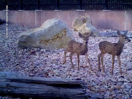 'It's working!' Deer, bears and other critters like Utah's first wildlife bridge — and the state has video to prove it.