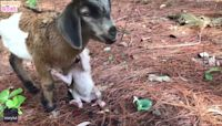 Baby Monkey Rides on Goat's Back as Pair Feast on Berries