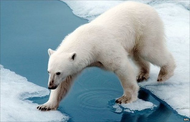 50429048_z927144-polar_bear-spl