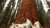 Editorial: Will tin foil save giant sequoias? Let's hope so
