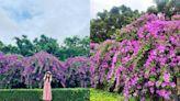 夢幻紫爆快來拍!新北「蒜香藤花瀑」綿延200公尺、賞花期倒數一週 - 玩咖Playing - 自由電子報