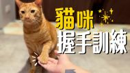 貓咪握手訓練!胖吉為了吃竟然秒學會!?| 吉妮普莉Cats Life