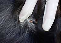 Rocky Mountain Spotted Fever in Dogs   PetMD