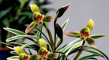 建議大家:陽台能養花的,選這種「雙色」四季蘭,擺一盆很高雅