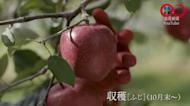 盧碧發威! 日本之最「青森蘋果」損失慘重