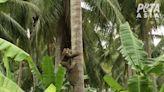 PETA: Costco won't sell coconut milk brand accused of using monkey labor