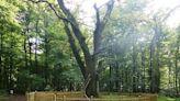 La curiosa historia del 'árbol casamentero' de Alemania