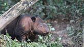 川普將大砍「犀牛和老虎保育基金」 全球不到100隻蘇門答臘犀牛告急