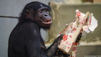 Ape hit: German zoo animals go wild for gifts | DW | 26.12.2019