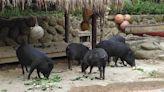 蘭嶼豬聞到食物「衝一波」包圍人質 保育員「阿雜」鬥智