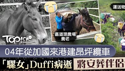 【永遠懷念】曾於昂坪纜車項目擔任工作騾 嘉道理農場「騾女」Duffi離世 - 香港經濟日報 - TOPick - 新聞 - 社會