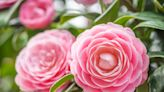 Why Camellias Are a Southern Favorite, Plus 6 Little-known Tidbits About the Flowering Shrubs