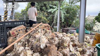 疫情「沒餐廳、團膳」!上百箱高麗菜腐爛 當綠肥銷毀