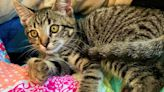 Alastair the tabby kitten used to be a scaredy-cat. He's ready for a new, nurturing home